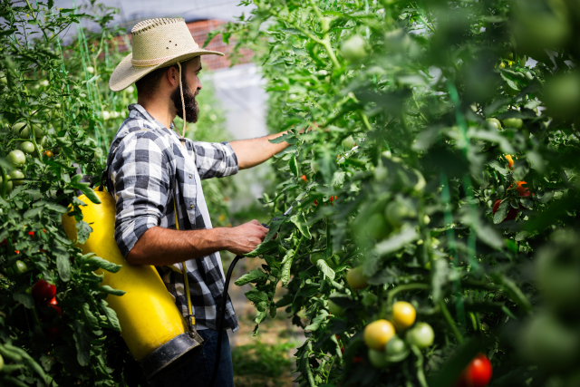 engrais pour tomate