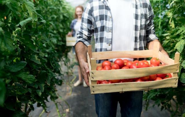 récoltez vos tomates