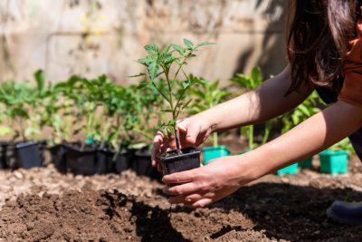 réussir ses plants de tomates au jardin