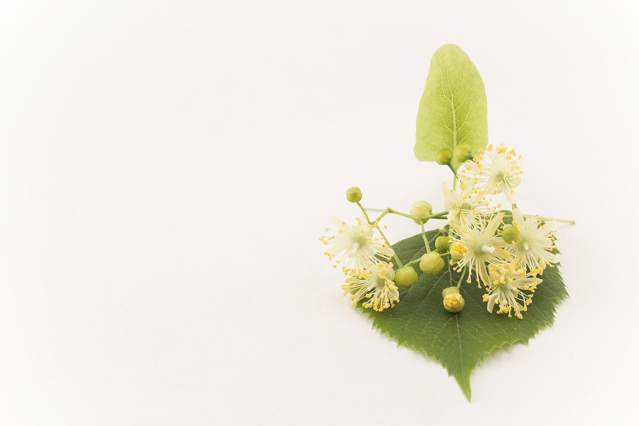 Fleurs de tilleul sur un fond blanc