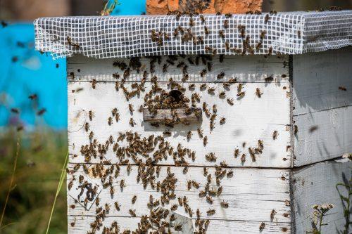 Des abeilles à la ruche. Essaim d'abeilles